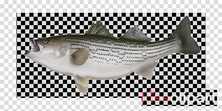 fish fish bass trout striper bass
