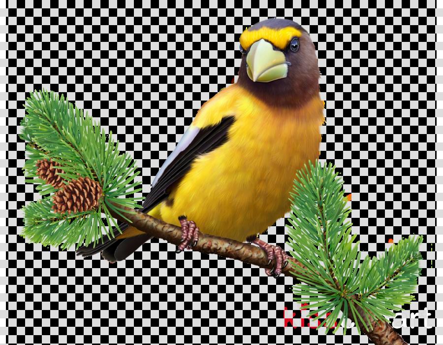 bird evening grosbeak beak finch songbird
