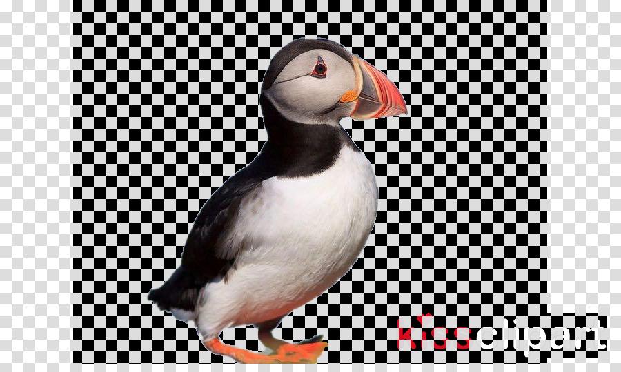 bird puffin atlantic puffin beak seabird