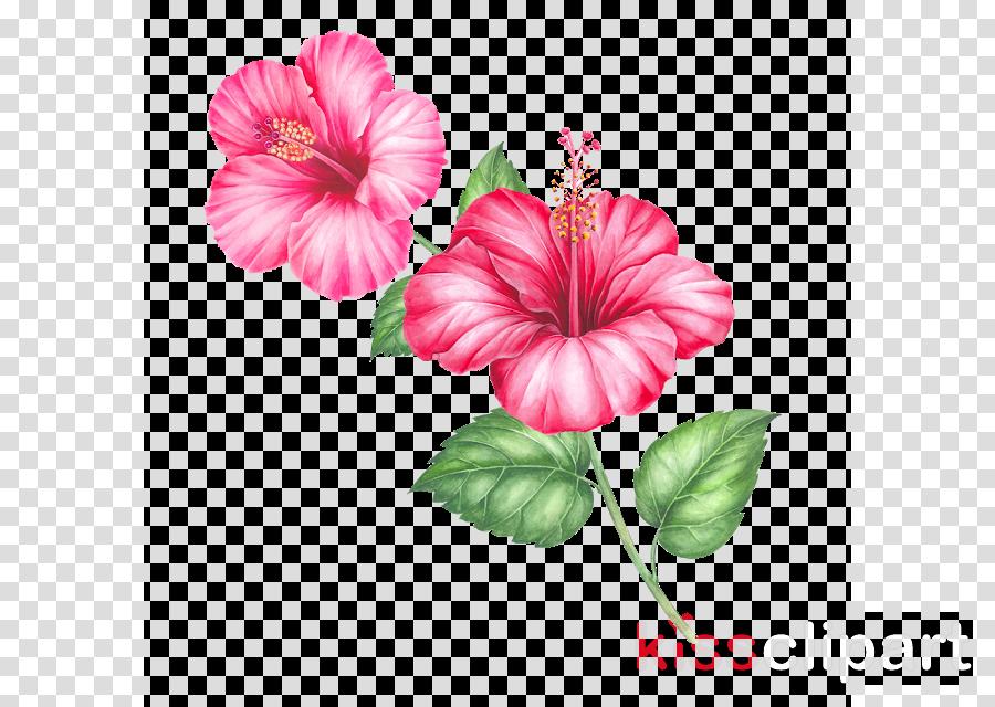 flower pink hibiscus hawaiian hibiscus chinese hibiscus