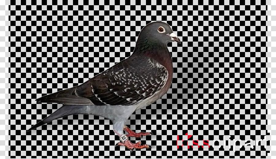 bird rock dove pigeons and doves stock dove beak