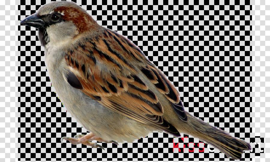 bird house sparrow sparrow beak chipping sparrow