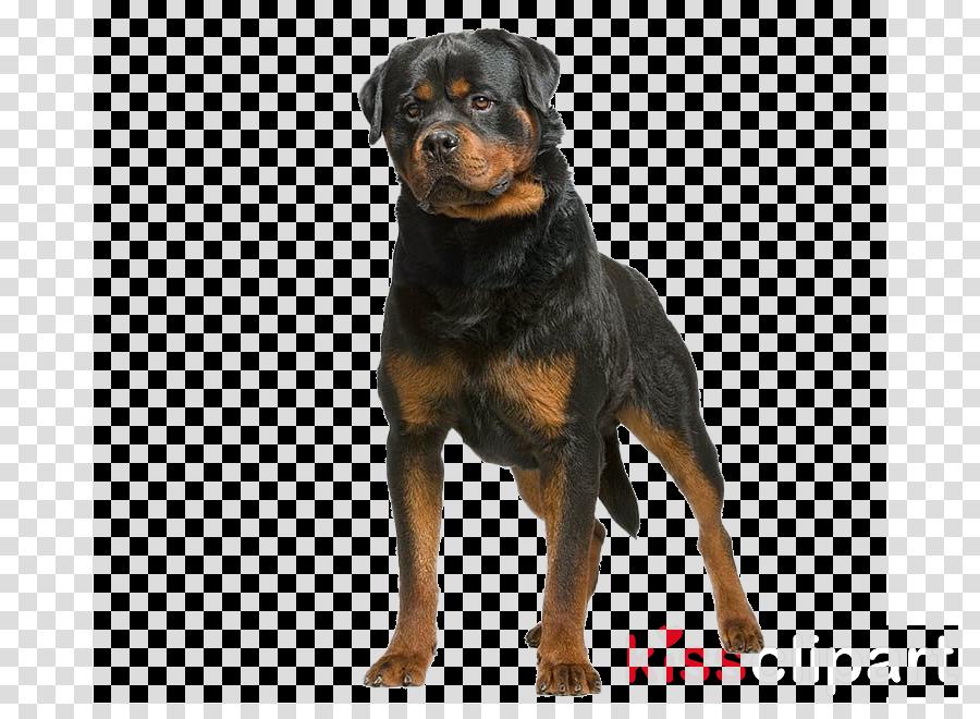 dog rottweiler working dog molosser companion dog