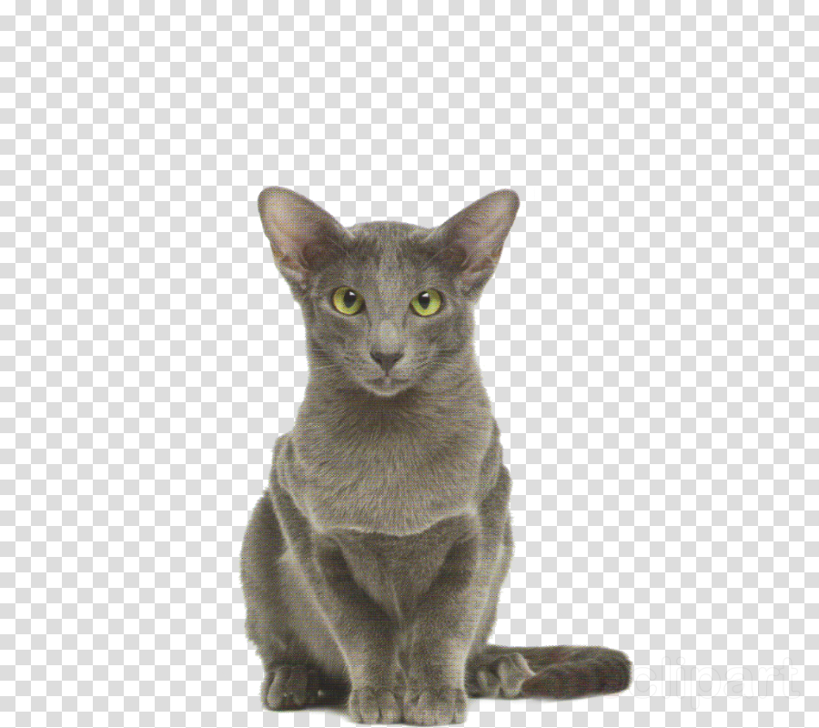cat small to medium-sized cats korat oriental shorthair whiskers