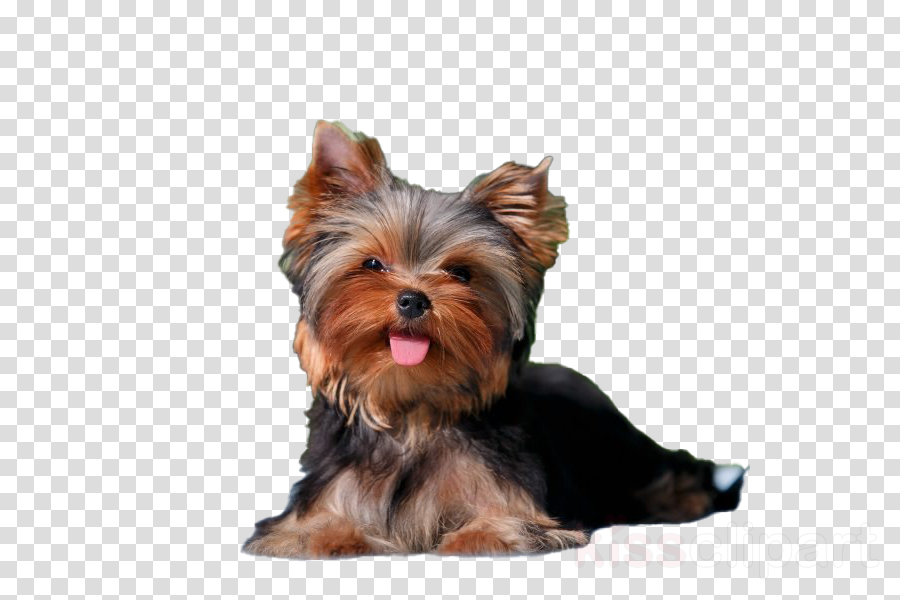 dog yorkshire terrier terrier small terrier companion dog