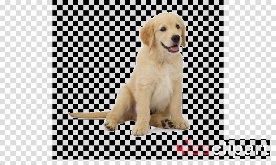 dog golden retriever retriever puppy companion dog