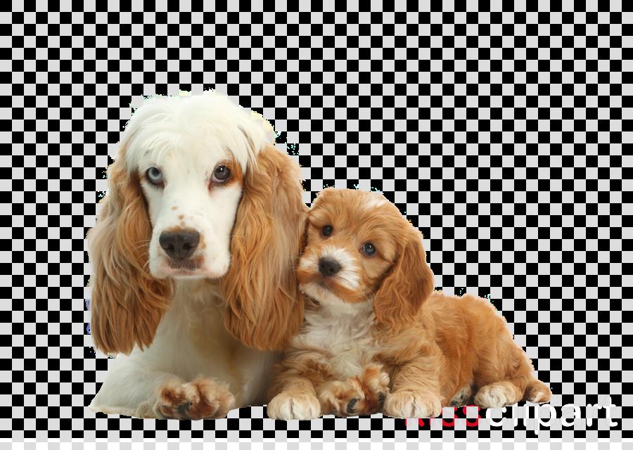 dog cocker spaniel puppy companion dog english cocker spaniel