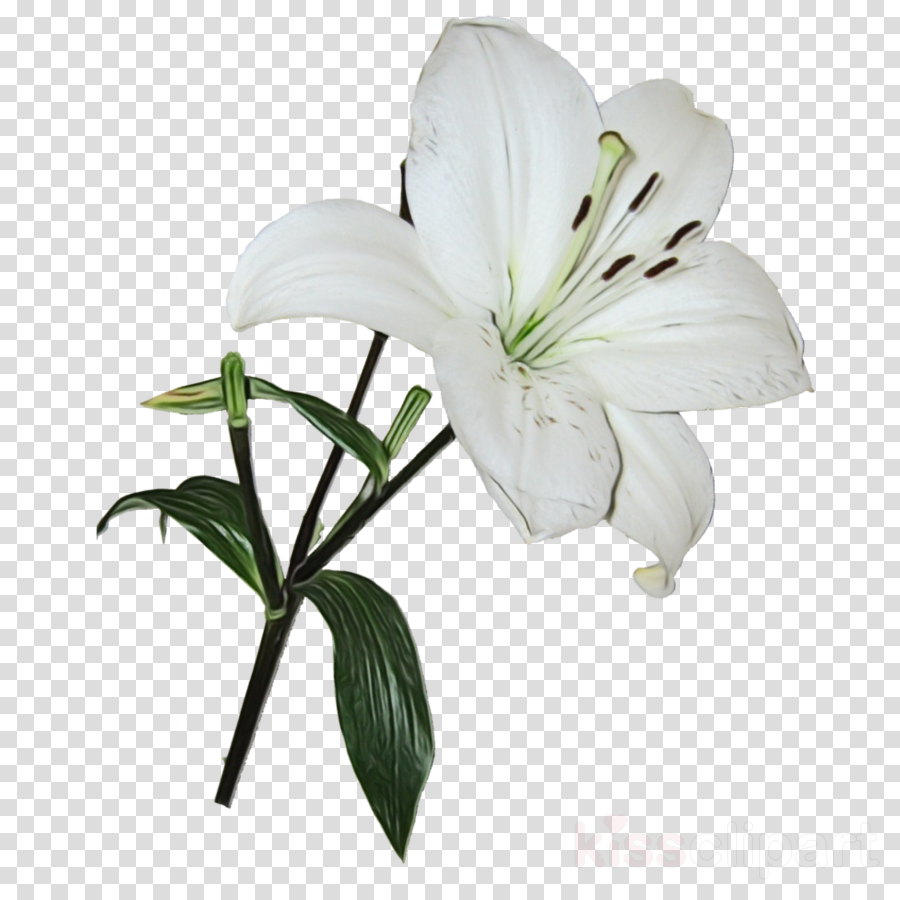 flower lily plant white petal