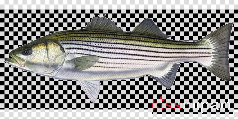 fish fish fish products bass striper bass