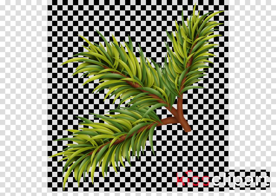 yellow fir tree canadian fir plant shortleaf black spruce