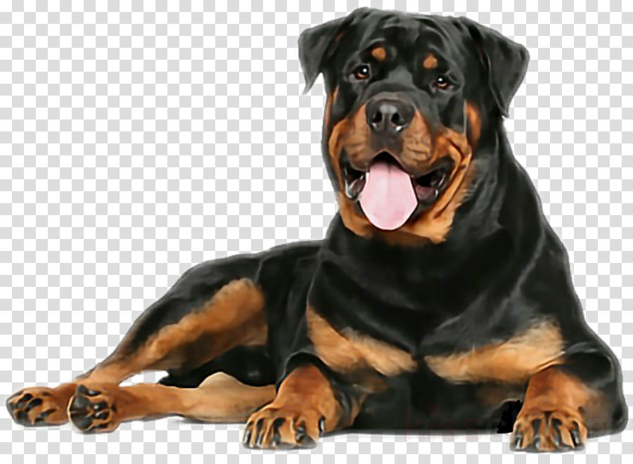 dog rottweiler giant dog breed molosser working dog