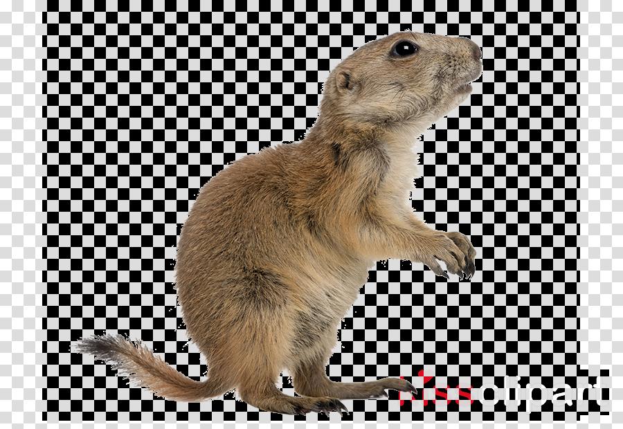 gopher degu prairie dog tail marmot