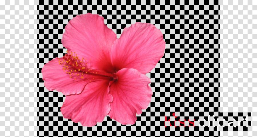 flower petal hibiscus pink hawaiian hibiscus