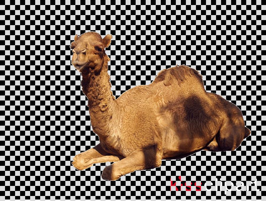 camel camelid arabian camel bactrian camel animal figure