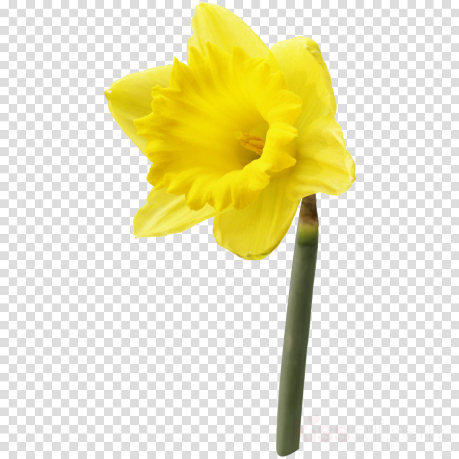 flower yellow petal narcissus plant