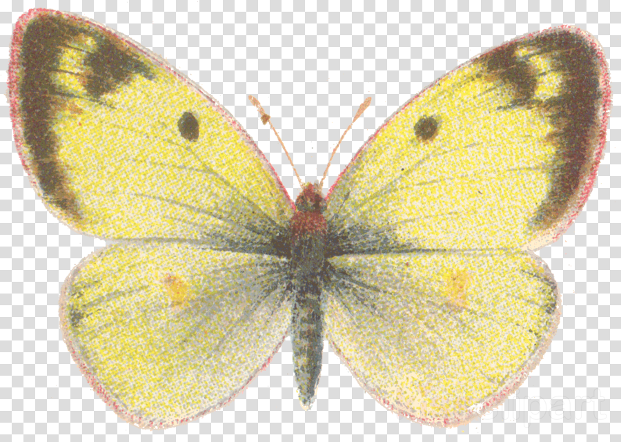moths and butterflies butterfly insect colias colias sareptensis