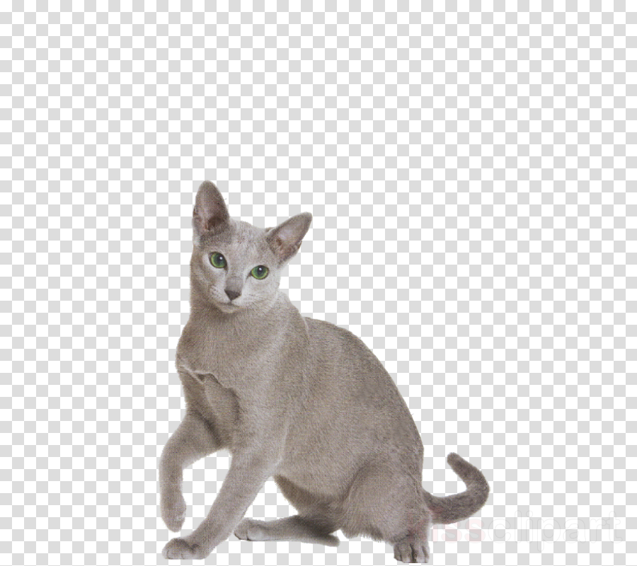 cat small to medium-sized cats korat whiskers burmese