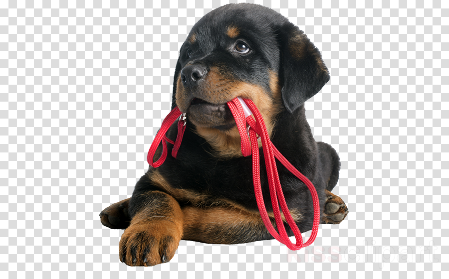 dog rottweiler puppy snout companion dog