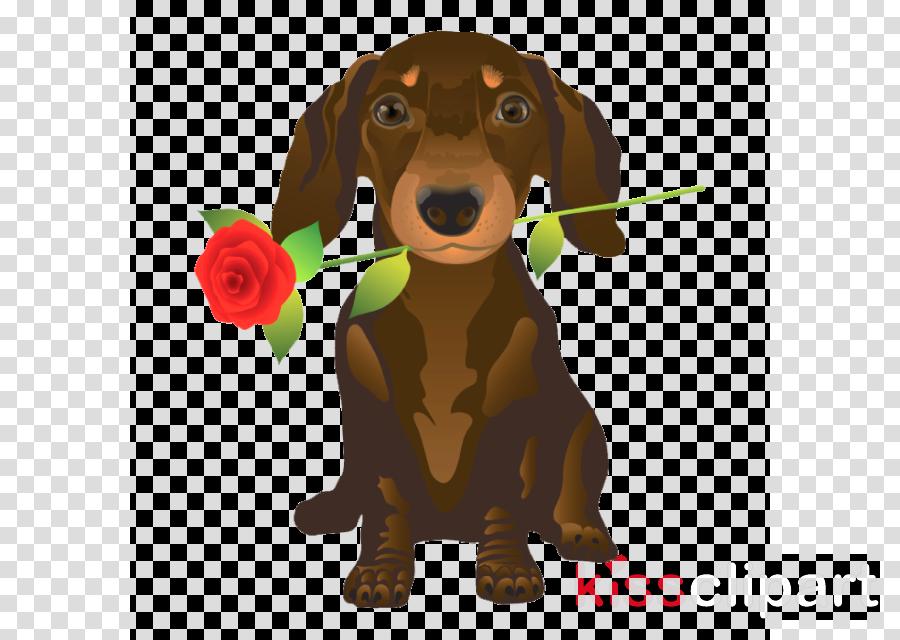 dog dachshund puppy sporting group rare breed (dog)