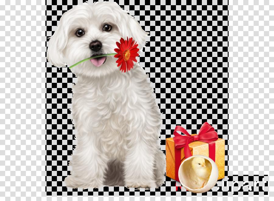 dog maltese puppy bichon maltepoo