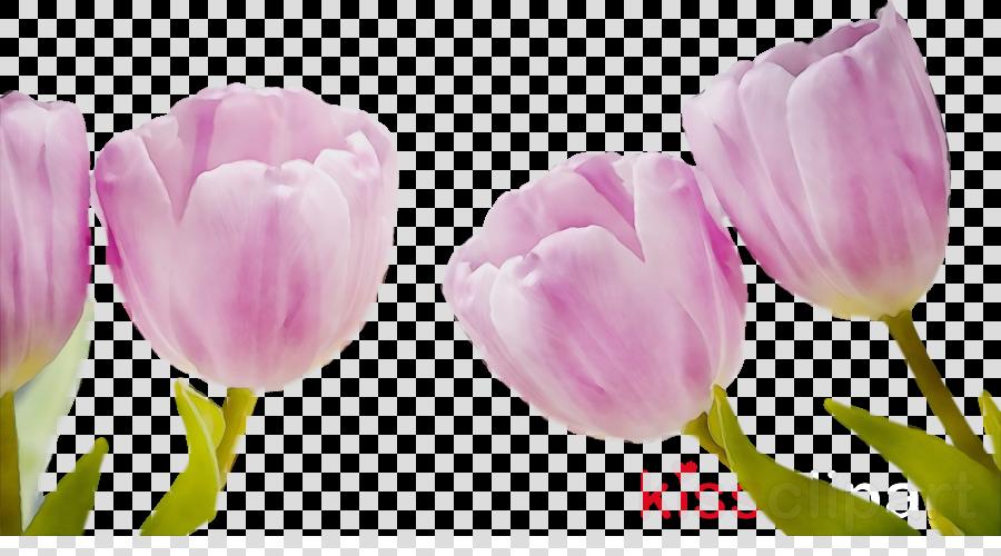 petal flower tulip pink plant