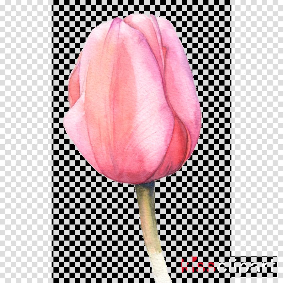 pink tulip flower petal plant