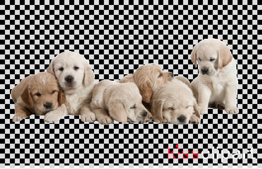 dog retriever puppy golden retriever labrador retriever