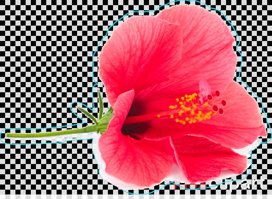 flower hibiscus petal chinese hibiscus pink