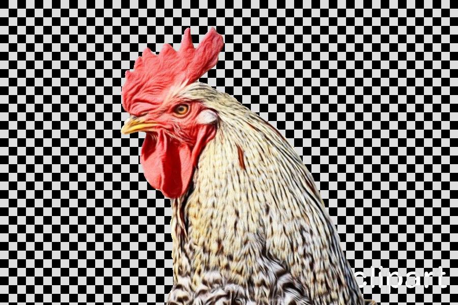 chicken rooster bird comb beak