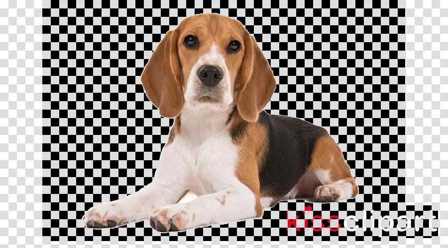 dog beagle beagle-harrier basset artésien normand puppy