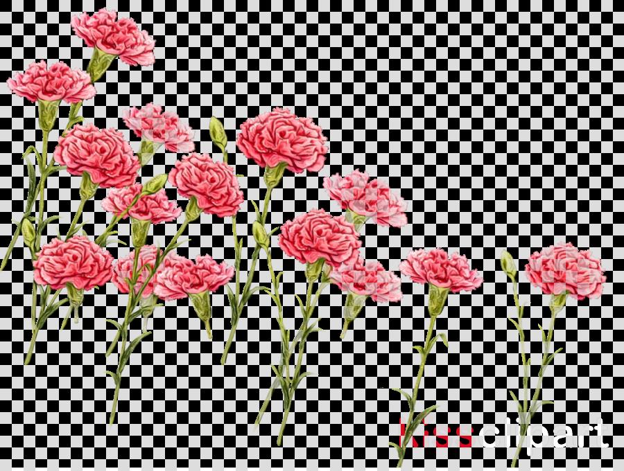 flower plant pink cut flowers sweet william