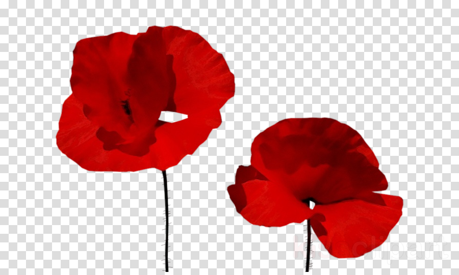 red flower petal poppy coquelicot