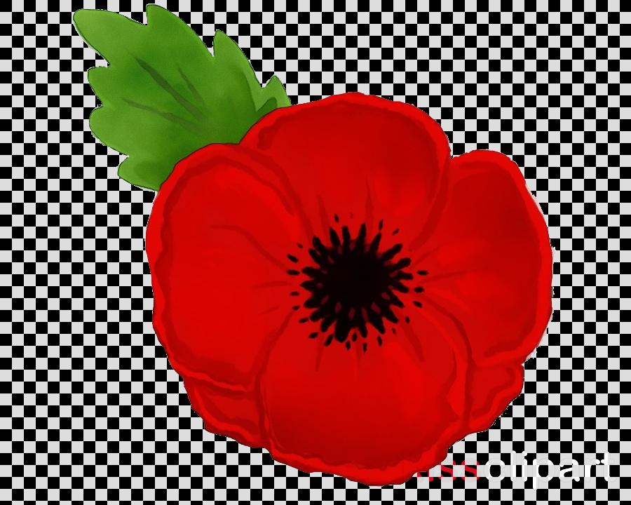 red petal flower poppy plant