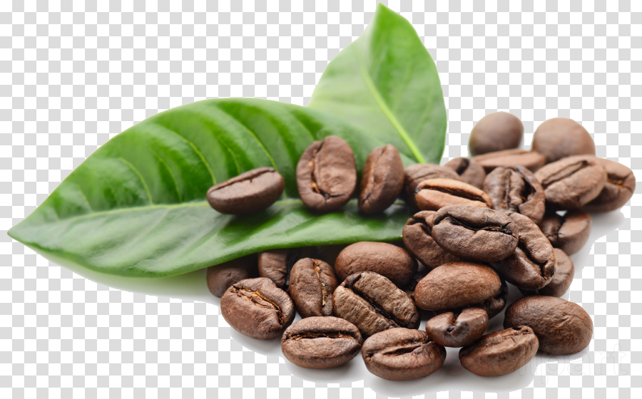 cocoa bean jamaican blue mountain coffee food leaf plant
