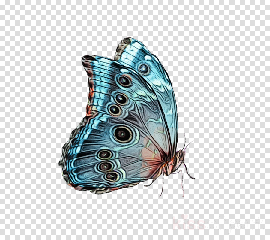 butterfly insect cynthia (subgenus) moths and butterflies turquoise