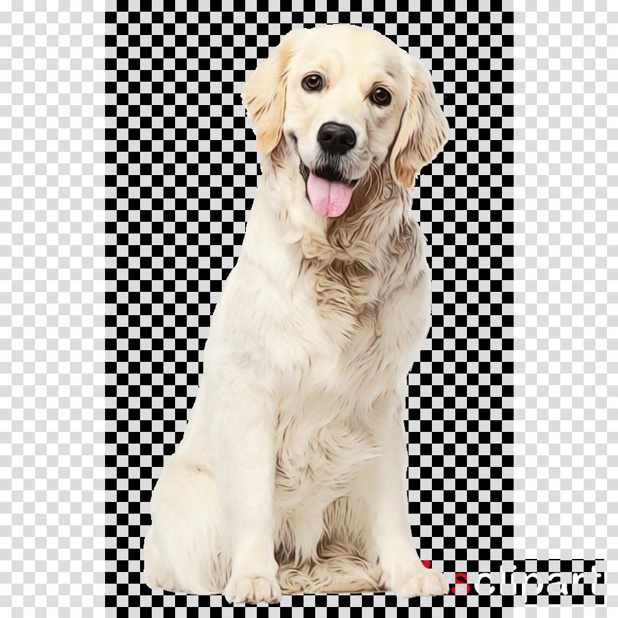 dog golden retriever retriever companion dog sporting group