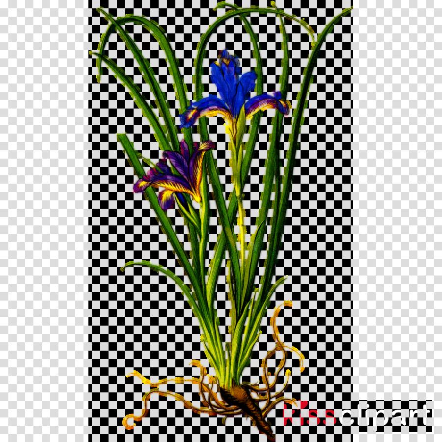 flower plant crocus houseplant iris