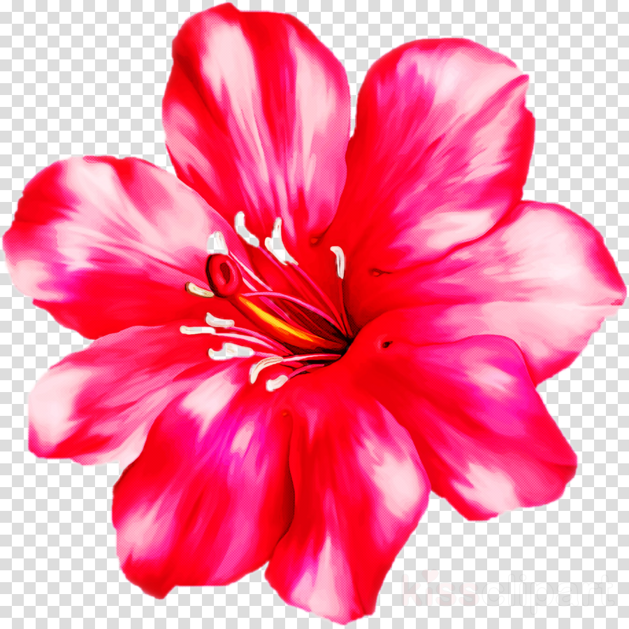 petal pink flower plant red