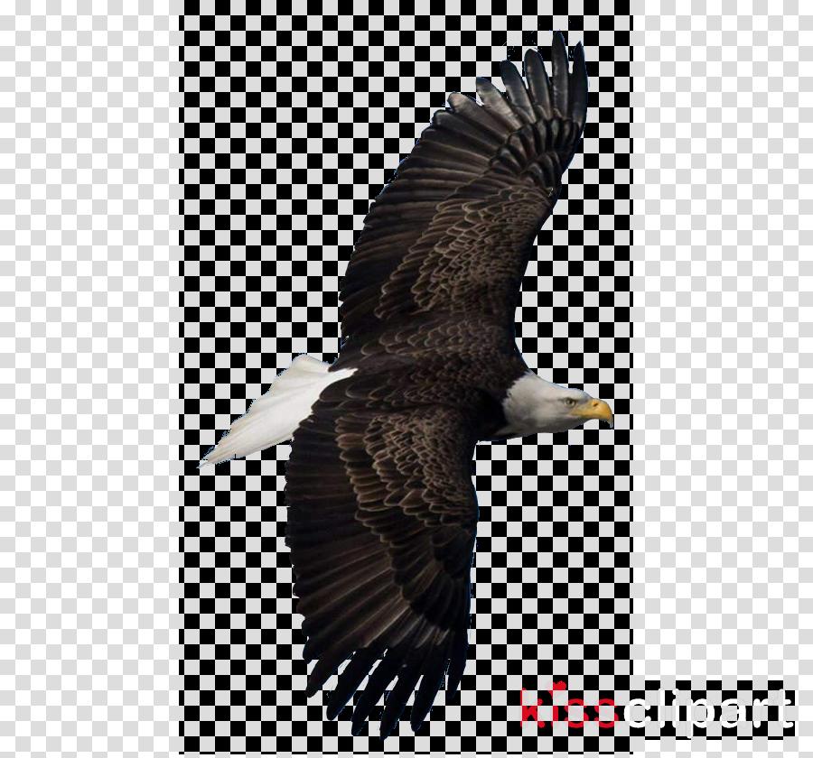 bird eagle bird of prey beak accipitridae