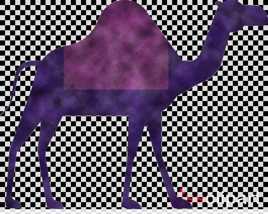 Camel Ramadan arabic culture