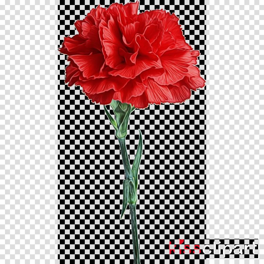 flower plant carnation cut flowers red