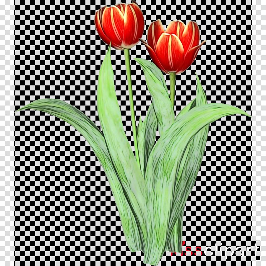 flower tulip plant cut flowers petal