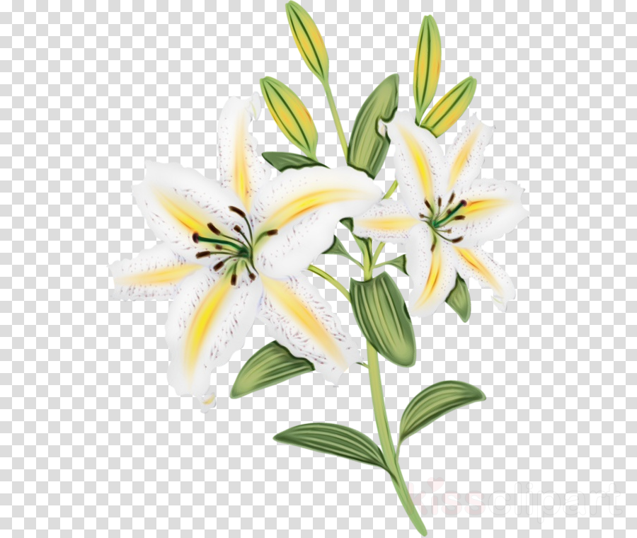 flower lily white plant yellow