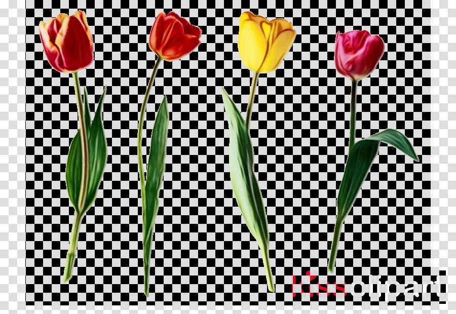 flower tulip petal plant cut flowers