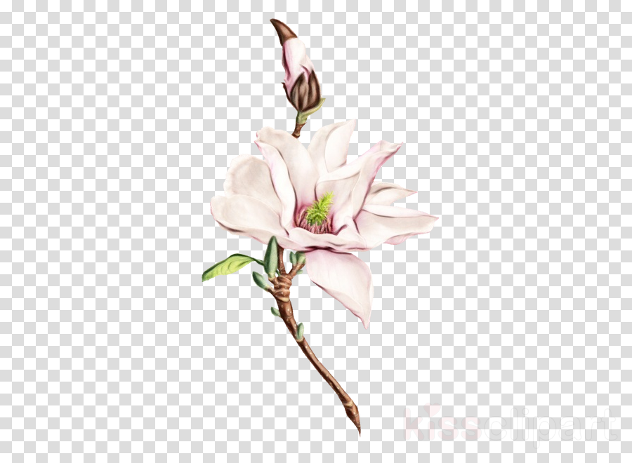 flower plant pink magnolia cut flowers