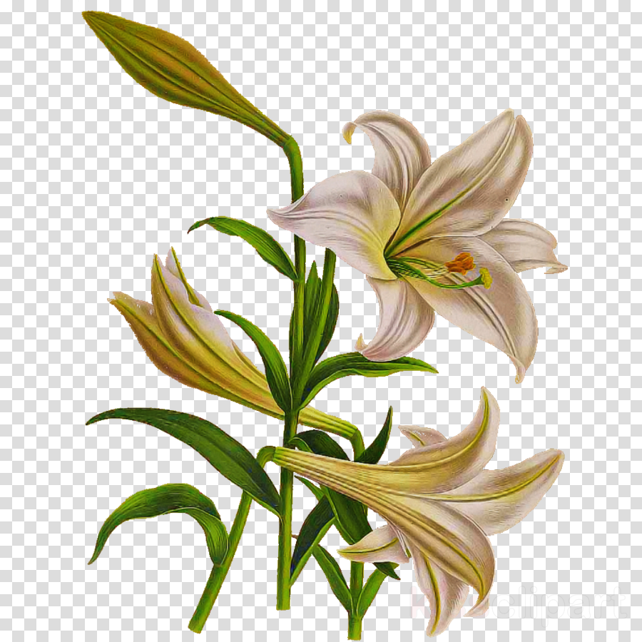 flower lily plant tiger lily stargazer lily