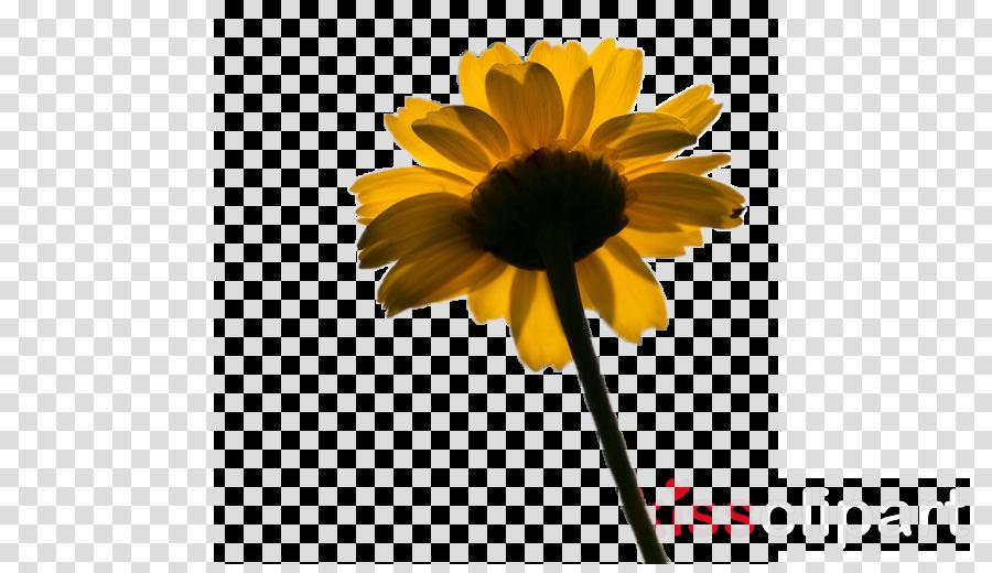 common sunflower flower abstract art sunflower seed yellow