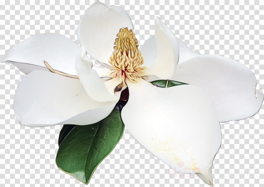 petal flower southern magnolia magnolia family flower petal