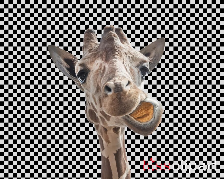 giraffe snout biology science