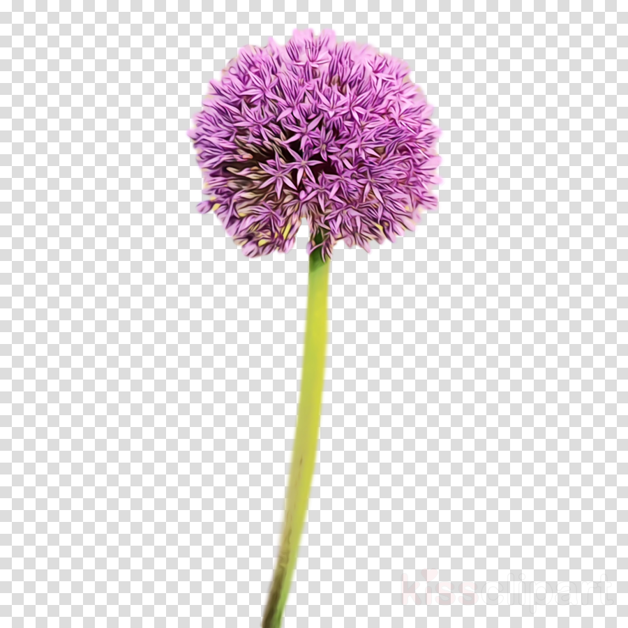 royalty-free chives giant allium bird-of-paradise plants colourbox